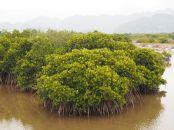 Mangrove sur Cat Ba (une île de la baie d'Halong)